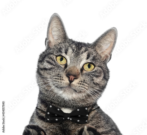 Fototapeta Cool cat pet with bow tie portrait isolated on white background