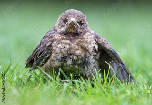 Fotografie, Obraz Young blackbird, Baby Turdus merula sits on a green grass
