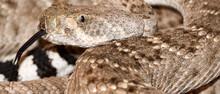Closeup Shot Of A Western Diamondback Rattlesnake