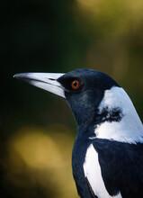 Australian Magpie, Adult Male
