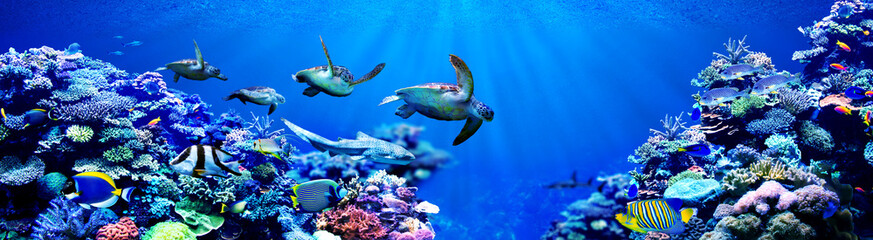 Panorama background of male Sea turtles chasing female sea turtle in beautiful coral reef with tropical fishes