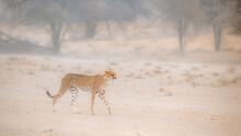 Cheetah Walking In Sand Storm In Kgalagadi Transfrontier Park, South Africa; Specie Acinonyx Jubatus Family Of Felidae