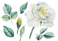 White Rose Flower And Leaves On Isolated Background, Watercolor Botanical Illustration