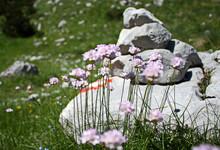 Light Purple Sea Thrift Flowers Growing In A Wild Field