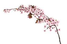 Sakura Tree Branch With Beautiful Pink Blossoms Isolated On White