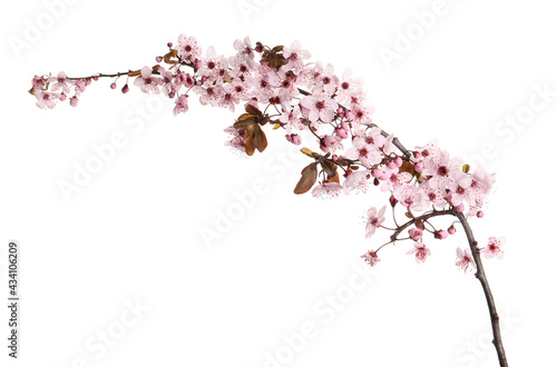 Canvas Sakura tree branch with beautiful pink blossoms isolated on white