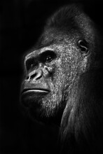 A Powerful Male Gorilla With Thick Lips Looks Displeased In Profile On A Black