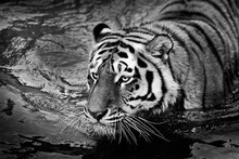Tiger Black And White Photo Floats On Water Close-up Portrait, Eyes, Symbol Of Water Sports