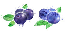 Watercolor Illustration Of Bilberry And Blueberry