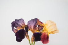 Multicolored Iris Flowers Isolated On White Background