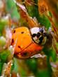 owad,biedronka,ekologia,wiosna,ogród1