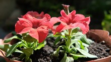 Two Red Petunia Flowers Grow In Flowerpots In The Garden, Illuminated By The Rays Of The Sun. A Strong Wind Sways The Plant. The Leaves Are Covered With Fine Spring Pollen.