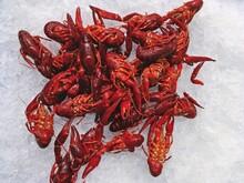 Cangrejos De Río Cocidos En Hielo Expuestos A La Venta En Un Supermercado En Madrid, España. El Cangrejo De Río Rojo, (Procambarus Clarkii) Es Un Cangrejo De Río De Agua Dulce.