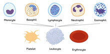 Blood Cells. Formed Elements Of Blood. Platelets Or Thrombocytes, White And Red Cells. Lymphocytes And Erythrocytes.