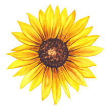 Watercolor Sunflower Hand Painted Illustration, Watercolour Sunflower Isolated On White Background. Watercolor Floral. Botanical Drawing