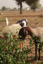Small Russian White Goat And A Brown Dromedary Grazing In Their Natural Habitat