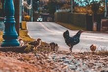 Chicken Animals Hen Fowl Farm Street Crossing Countryside
