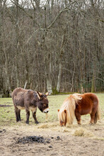 Little Donkey And Shetland Pony In A Field Eating Hay