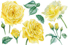 Set Of Yellow Roses, Flowers, Leaves And Branches On An Isolated White Background, Watercolor Botanical Illustration