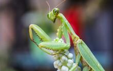 Macro Photo Of Praying Mantis