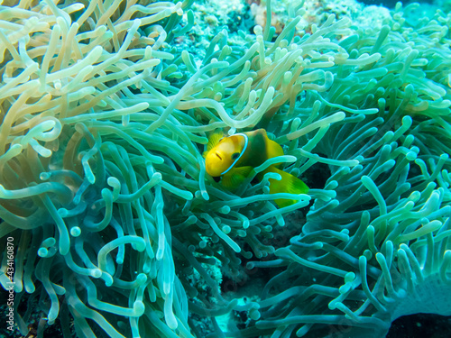 Anemone fish swims under the protection of anemone thickets at the bottom of the Fototapeta