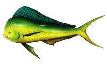 Illustration Of Fish Name Dolphinfish Painted In Traditional Art Style