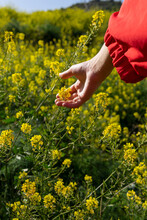 Crop Anonymous Female In Red Wear Touching Blossoming Yellow Flowers On Summer Meadow In Sunlight
