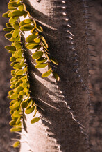 Closeup Tall Trunk Of Columnar Cactus With Spiral Rows Of Thorns And Green Foliage