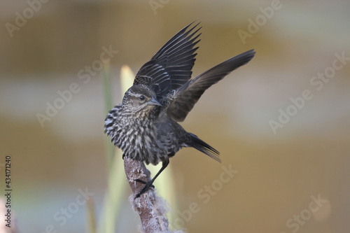 Fototapeta Female Red Winged Blackbird flying off a cattail in marsh land on beautiful spri
