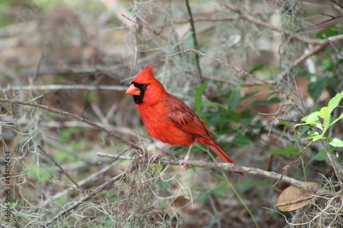 Obraz na plátne Red male cardinal in a tree
