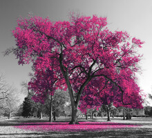 Big Colorful Tree With Pink Leaves In A Black And White Landscape Scene In The Park