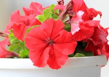 Red Petunia Flowers Close Up