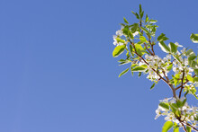 Border Of Pear Tree Blossoms And Leaves On Branch Against Blue Sky
