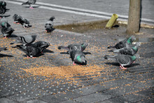 Many Birds, Pigeon And Doves With Colorful Green And Purple Feathers In Their Necks On The Bird Seeds And Foods In Beyazit Istanbul. They Are Feeding By Wheat Berry And Bird Fodder