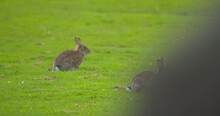 Wild Rabbits Run For Cover From Green Grass When Human Approaches