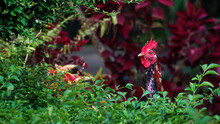 The Head Of A Rooster Is Surrounded By Green Leaves. Focus Is Selected