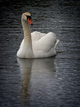 Mute Swan Swimming In The Water, Rippled Reflection