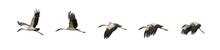 Set Of Flying Asian Openbill Strok Birds