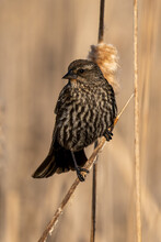 Closeup Of A Song Sparrow On Wetland Reed