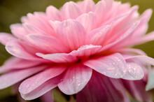 Soft Focus Macro Close-up Of Pretty Pink Dahlia Flower