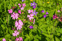 Red Campion Flowers On A Sunny Meadow