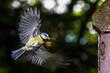 Blaumeise (Cyanistes caeruleus) fliegt Nistkasten an