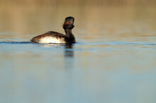 Black-necked Grebe With The First Light Of Dawn In A Wetland In Central Spain On A Sunny Day