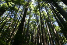 Giant Coastal Redwood Trees In Humbolt County California Showing Trunks Of Trees Reaching For The Sky Under A Green Canopy Of Branches