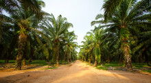 Palm Oil Plantation. Row Of Palm Trees With Dirt Road In The Middle.