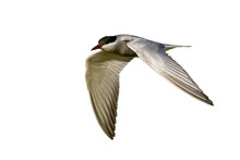 Common Tern, Sterna Hirundo, Sterna Hirundo, In Flight Isolated On White Background. Seabird Hovering Cut Out On Blank. Grey Bird In The Air With Copy Space.