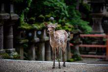 Japan, Nara Deer Park