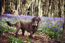 A Brown Working Cocker Spaniel Stood Among Wild Bluebells In Woodland