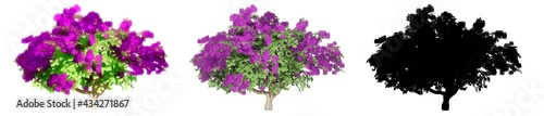Photo Set or collection of  Bougainvillea bushes, painted, natural and as a black silhouette, isolated on white background