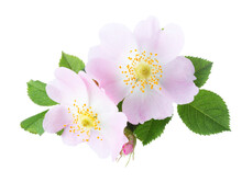 Two Light Pink Roses With Green Leaves Isolated On White Background. Rosa Canina. Large Depth Of Field (Large DoF).